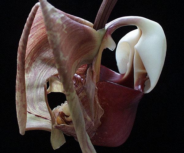 Resultado de imagem para Coryanthes leucocorys