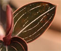 Seedling Leaf